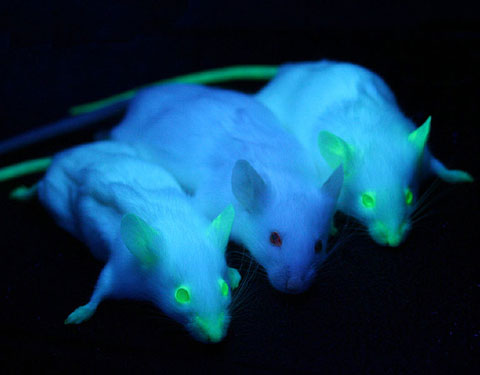 Mice expressing the green fluorescent protein gene