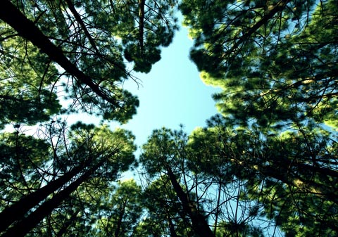 Pine trees, like the ones pictured here, produce a compound that may be capable of inducing cloud formation and combating the effects of global warming