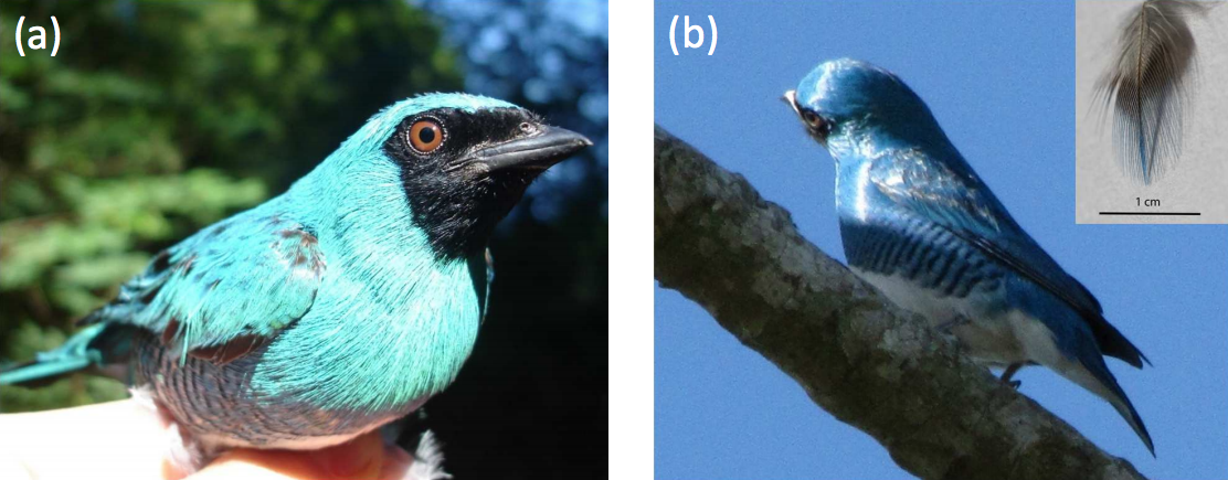 The swallow tanager, photographed from two different angles. Seen with the sun in front of it, it appears turquoise. Illuminated from opposite the observer, it has a deep, sky-blue hue.